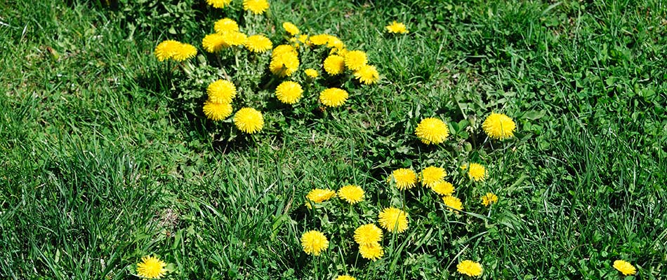 Dandelions taking over a yard that needs to be treated with post-emergent weed control.
